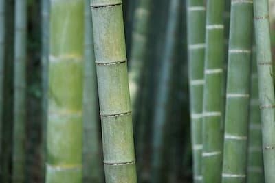 tipos y especies bambú